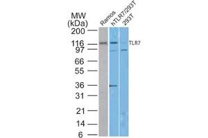 Image no. 1 for anti-Toll-Like Receptor 7 (TLR7) antibody (ABIN6655379)