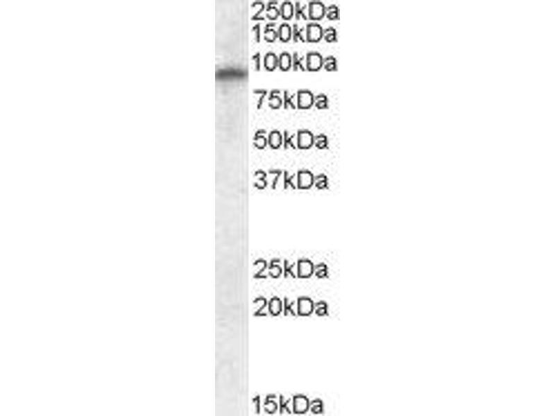 Western Blotting (WB) image for anti-Glutamate Receptor, Ionotrophic, AMPA 4 (GRIA4) (Internal Region) antibody (ABIN2562935)