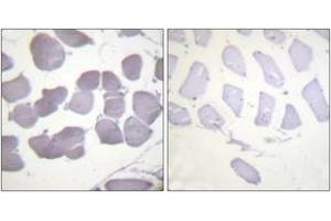 Image no. 2 for anti-Protein Kinase, AMP-Activated, beta 1 Non-Catalytic Subunit (PRKAB1) (AA 147-196), (pSer182) antibody (ABIN1531259)