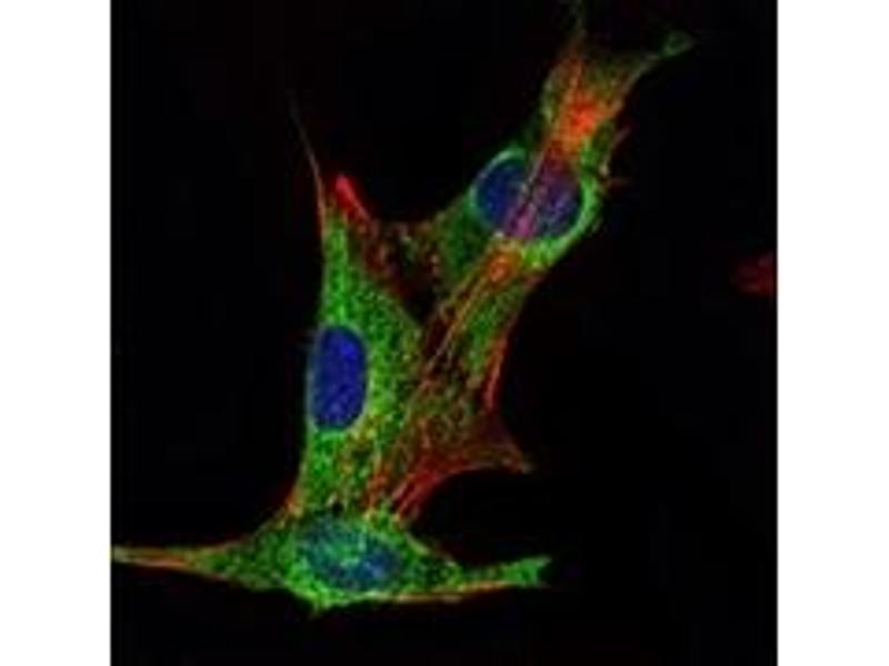 Immunofluorescence (IF) image for anti-Inhibin alpha antibody (Inhibin, alpha) (ABIN1107756)
