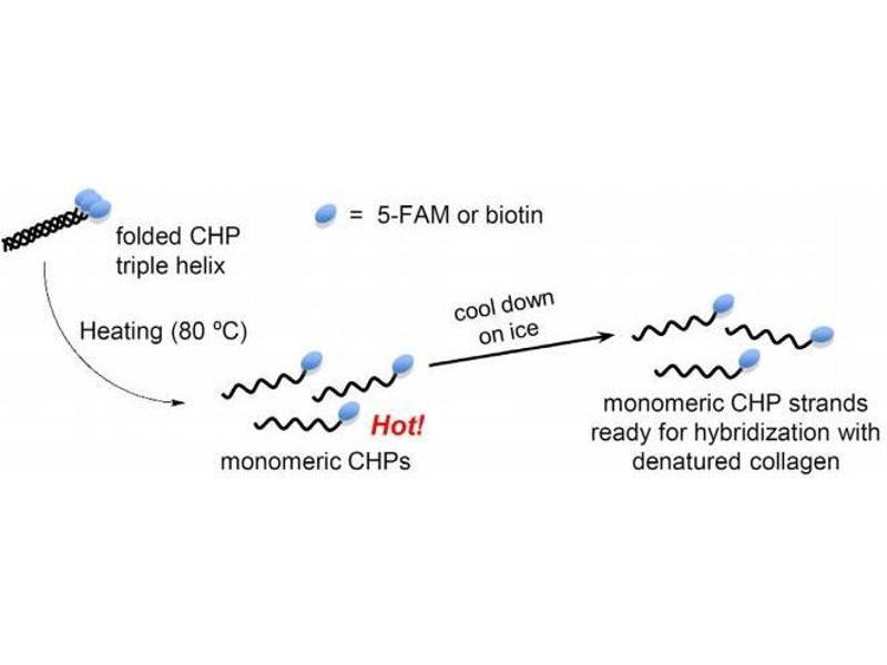 Image no. 2 for Collagen (COL) peptide (Biotin) (ABIN6952242)
