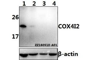 Image no. 1 for anti-Cytochrome C Oxidase Subunit IV Isoform 2 (Lung) (COX4I2) (AA 77-121) antibody (ABIN6711134)