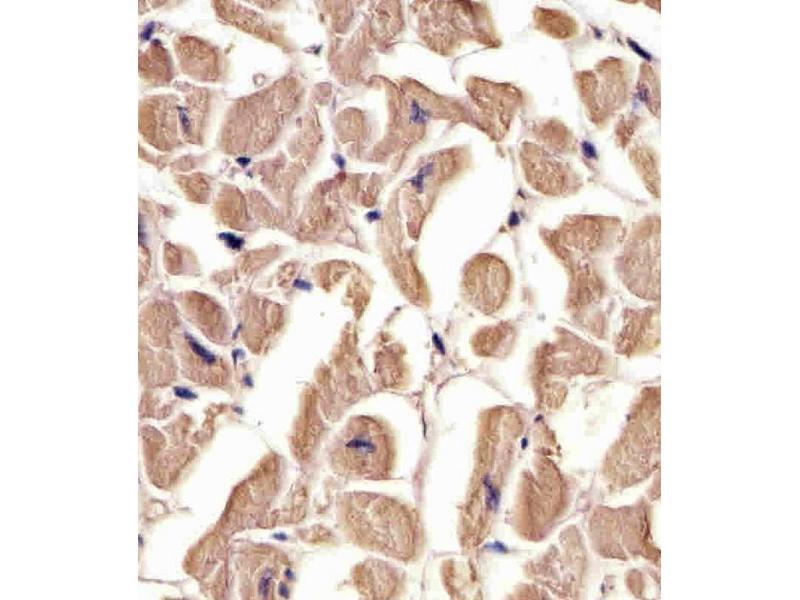 Immunohistochemistry (IHC) image for anti-TUBA1C Antikörper (Tubulin, alpha 1c) (AA 414-441) (ABIN5533007)