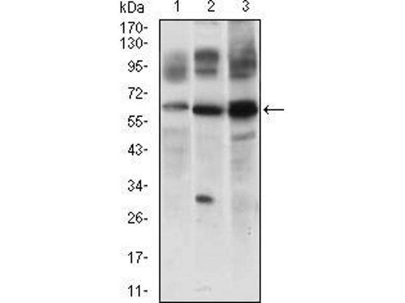 Western Blotting (WB) image for anti-CFLAR antibody (CASP8 and FADD-Like Apoptosis Regulator) (AA 100-251) (ABIN1724850)