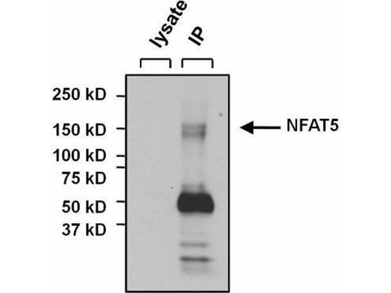 Immunoprecipitation (IP) image for anti-NFAT5 antibody (Nuclear Factor of Activated T-Cells 5, Tonicity-Responsive) (C-Term) (ABIN267152)