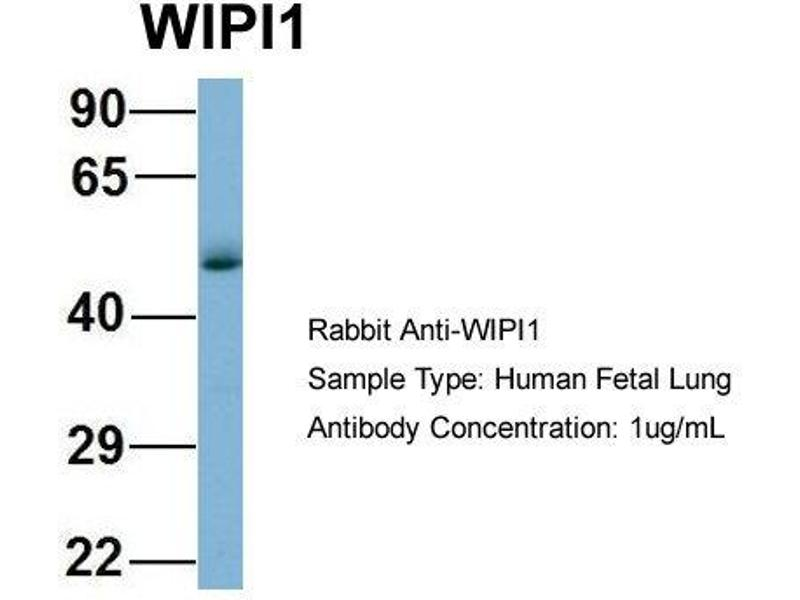 Western Blotting (WB) image for anti-WD Repeat Domain, phosphoinositide Interacting 1 (WIPI1) (Middle Region) antibody (ABIN504170)