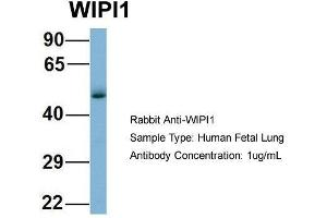 anti-WD Repeat Domain, phosphoinositide Interacting 1 (WIPI1) (Middle Region) antibody (2)