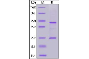 Image no. 1 for Membrane-Spanning 4-Domains, Subfamily A, Member 1 (MS4A1) (AA 1-297) (Active) protein (His tag,AVI tag,Biotin) (ABIN7013417)