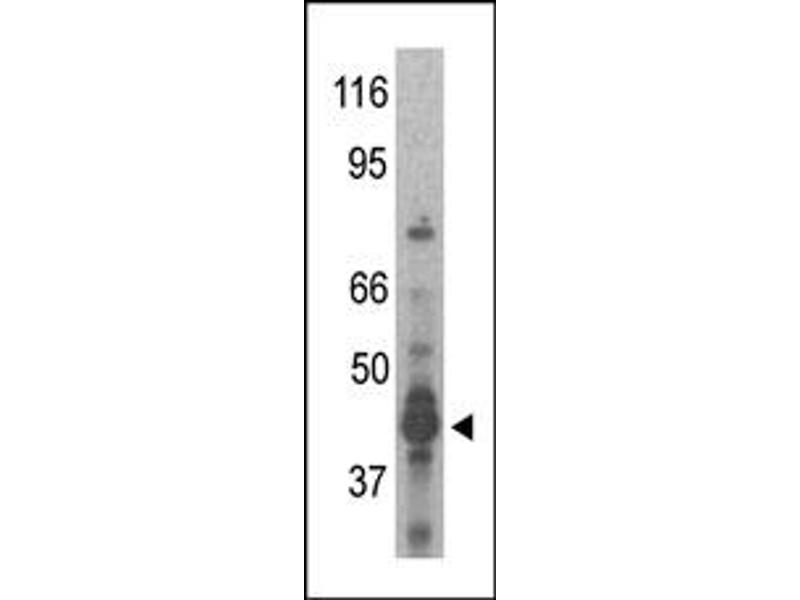 Image no. 1 for anti-Protein Arginine Methyltransferase 6 (PRMT6) (N-Term) antibody (ABIN356530)