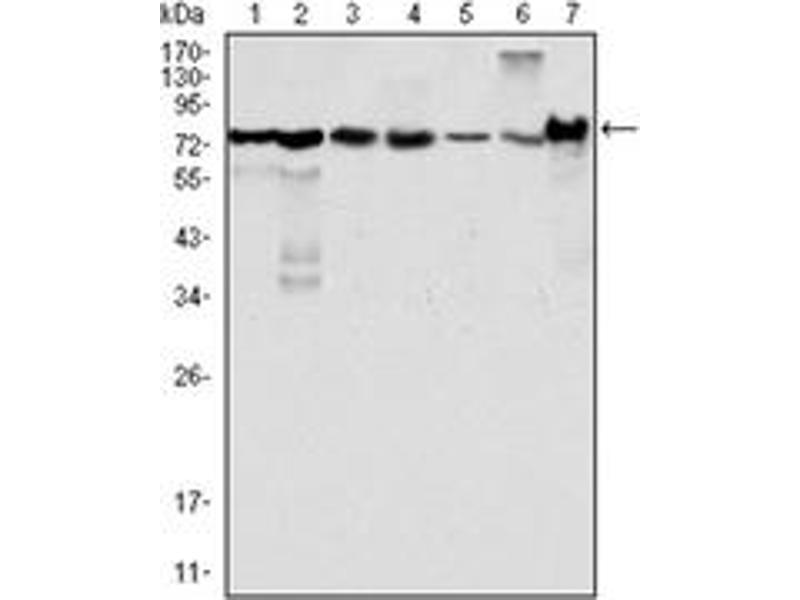 Western Blotting (WB) image for anti-LPP antibody (ABIN1108058)