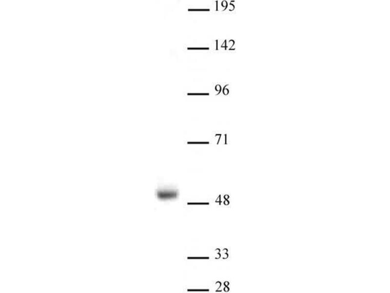 Image no. 3 for anti-Nuclear Receptor Subfamily 1, Group H, Member 3 (NR1H3) (N-Term) antibody (ABIN2668708)
