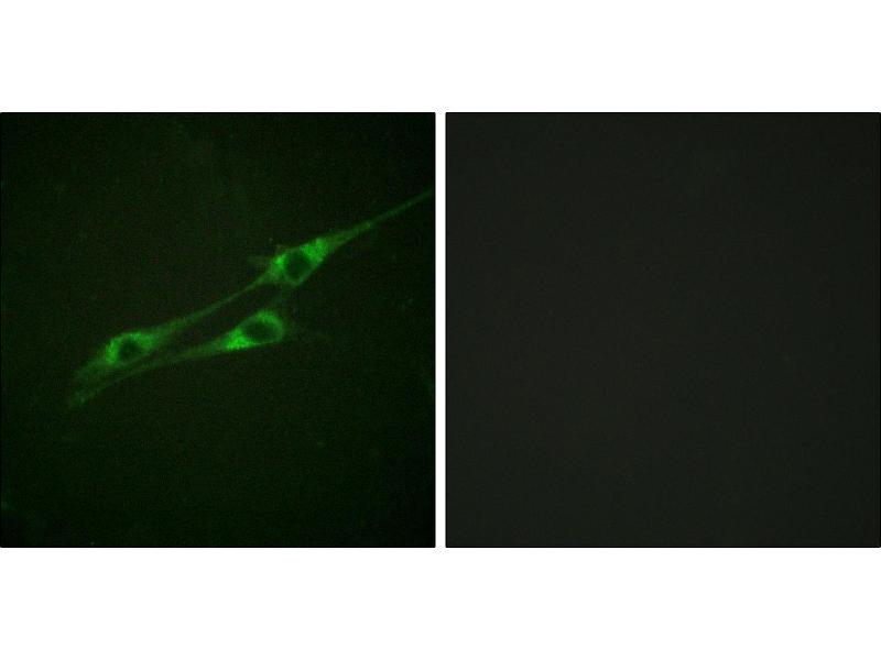 Immunofluorescence (IF) image for anti-IL13 Receptor alpha 1 antibody (Interleukin 13 Receptor, alpha 1) (Tyr405) (ABIN2490707)
