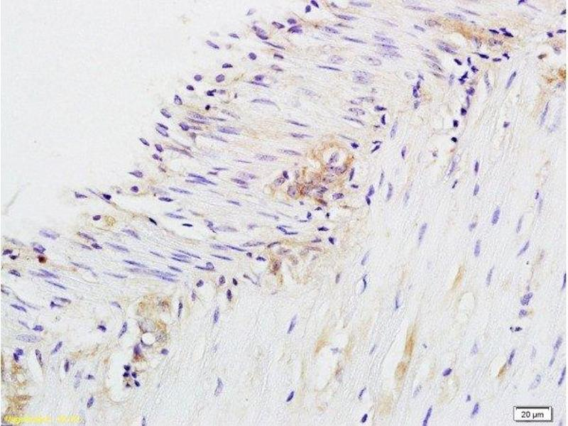Immunohistochemistry (Paraffin-embedded Sections) (IHC (p)) image for anti-CD28 antibody (CD28) (AA 20-45) (ABIN674604)