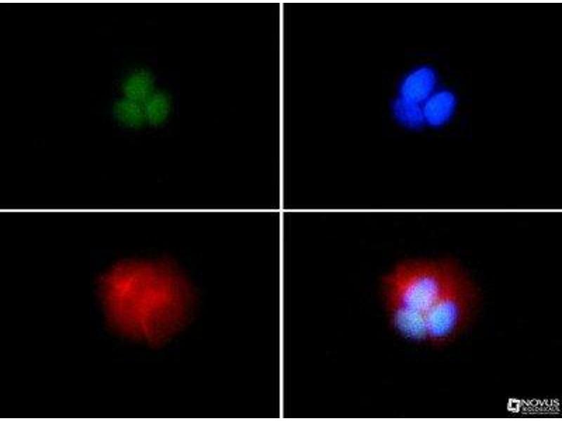 Immunofluorescence (IF) image for anti-BRCA1 antibody (Breast Cancer 1) (AA 1314-1864) (ABIN152031)