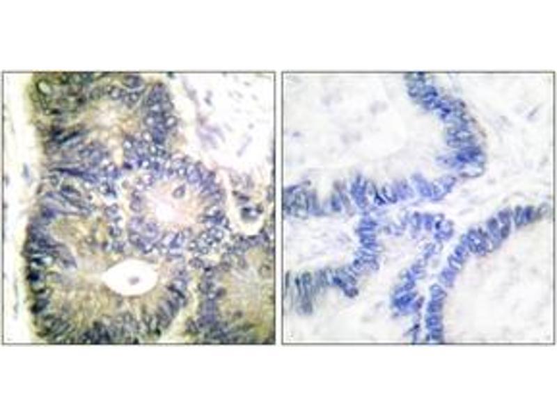 Immunohistochemistry (IHC) image for anti-Cytochrome C, Somatic (CYCS) (AA 10-59) antibody (ABIN1533252)
