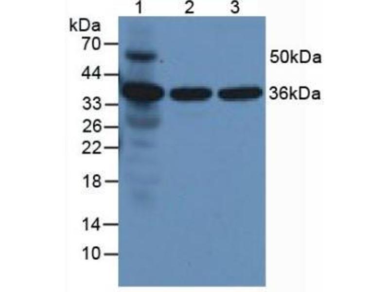 Western Blotting (WB) image for anti-Annexin A5 (ANXA5) (AA 1-321) antibody (ABIN1172673)