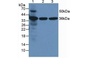 Western Blotting (WB) image for anti-Annexin A5 (ANXA5) (AA 1-321) antibody (ABIN1172673)