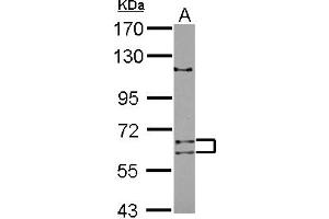 Image no. 1 for anti-Adenosine Deaminase Domain Containing 1 (Testis-Specific) (ADAD1) (AA 1-307) antibody (ABIN1496470)
