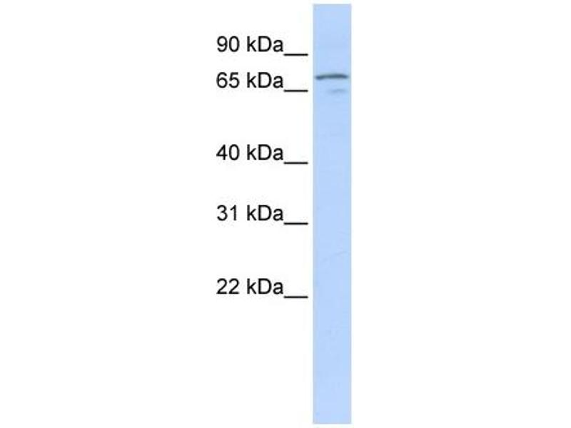 Western Blotting (WB) image for anti-Neuregulin 3 (NRG3) (Middle Region) antibody (ABIN2781935)