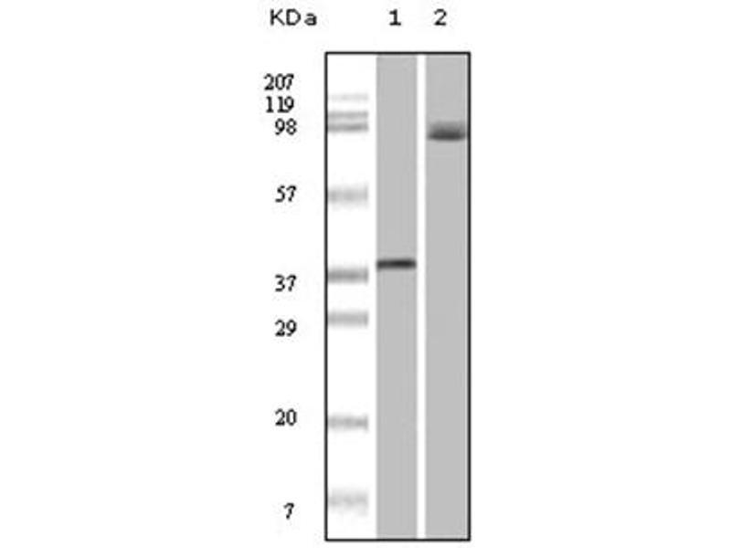 Western Blotting (WB) image for anti-BRAF antibody (V-Raf Murine Sarcoma Viral Oncogene Homolog B1) (ABIN1105488)