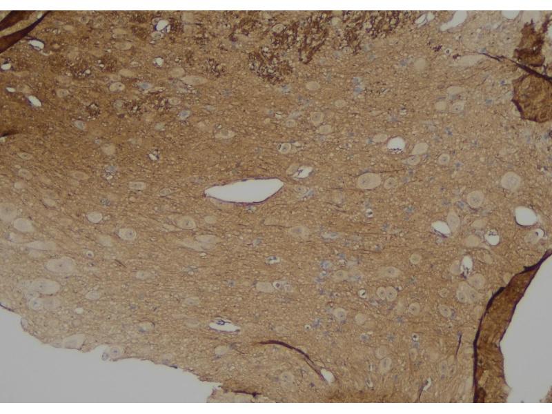 Image no. 1 for anti-Dynamin 1-Like (DNM1L) (pSer529) antibody (ABIN6269617)