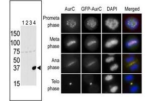 Western Blotting (WB) image for anti-Aurora Kinase C antibody (AURKC) (AA 1-30) (ABIN390978)
