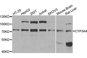 Image no. 2 for anti-Cytochrome P450, Family 3, Subfamily A, Polypeptide 4 (CYP3A4) antibody (ABIN3023346)