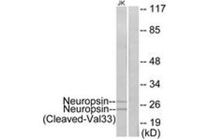 Image no. 1 for anti-Opsin 5 (OPN5) (AA 14-63), (Cleaved-Val33) antibody (ABIN1536148)