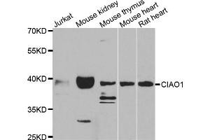 Image no. 1 for anti-Cytosolic Iron-Sulfur Protein Assembly 1 (CIAO1) antibody (ABIN6571089)