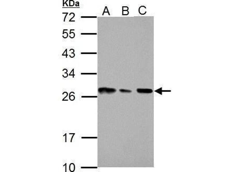 Western Blotting (WB) image for anti-HMGB1 antibody (High-Mobility Group Box 1) (AA 1-159) (ABIN551245)