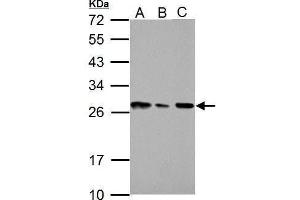 anti-High-Mobility Group Box 1 (HMGB1) (AA 1-159) antibody (3)