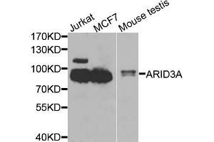 Western Blotting (WB) image for anti-AT Rich Interactive Domain 3A (BRIGHT-Like) (ARID3A) antibody (ABIN3048901)