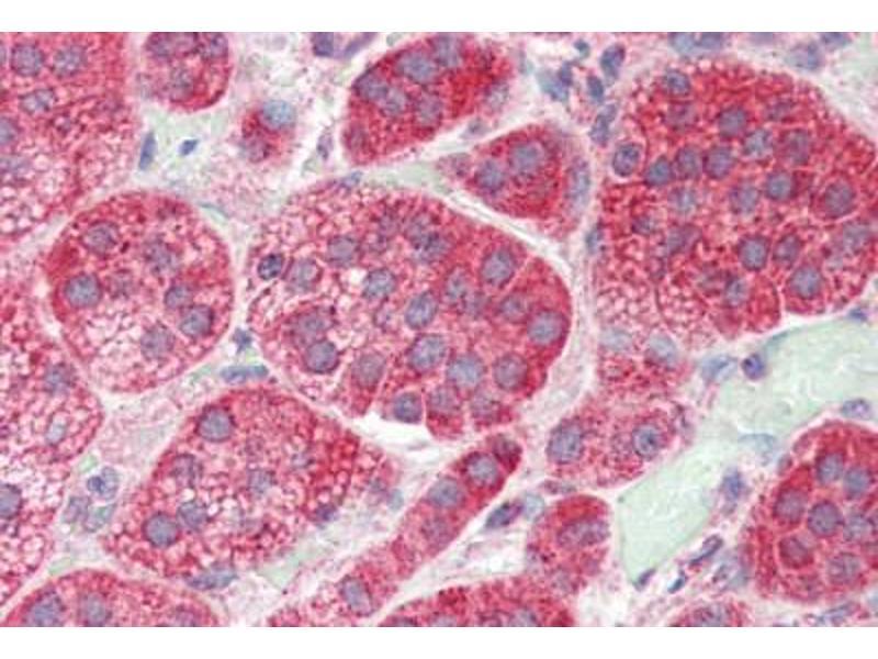 Image no. 2 for anti-Glutamate Receptor, Ionotropic, Kainate 4 (GRIK4) (C-Term) antibody (ABIN461908)