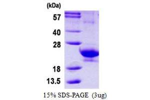 Image no. 1 for Interferon, alpha 14 (IFNa14) protein (His tag) (ABIN1098610)