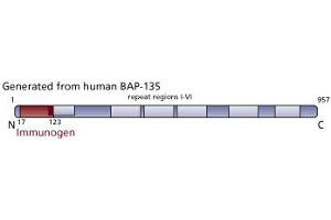 image for anti-GTF2I antibody (General Transcription Factor III) (AA 17-123) (ABIN968264)
