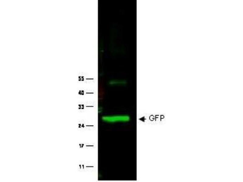 Western Blotting (WB) image for anti-GFP antibody (Green Fluorescent Protein) (ABIN153230)