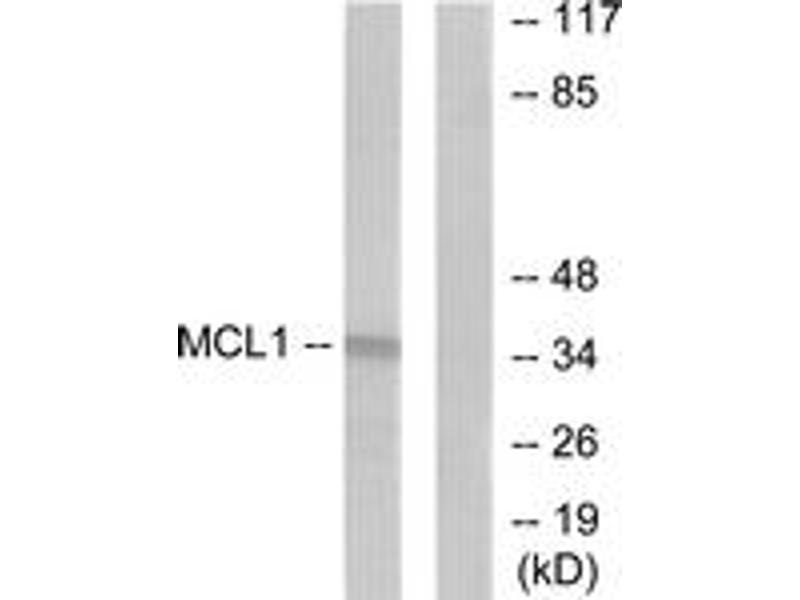 Western Blotting (WB) image for anti-Induced Myeloid Leukemia Cell Differentiation Protein Mcl-1 (MCL1) (AA 91-140) antibody (ABIN1533338)