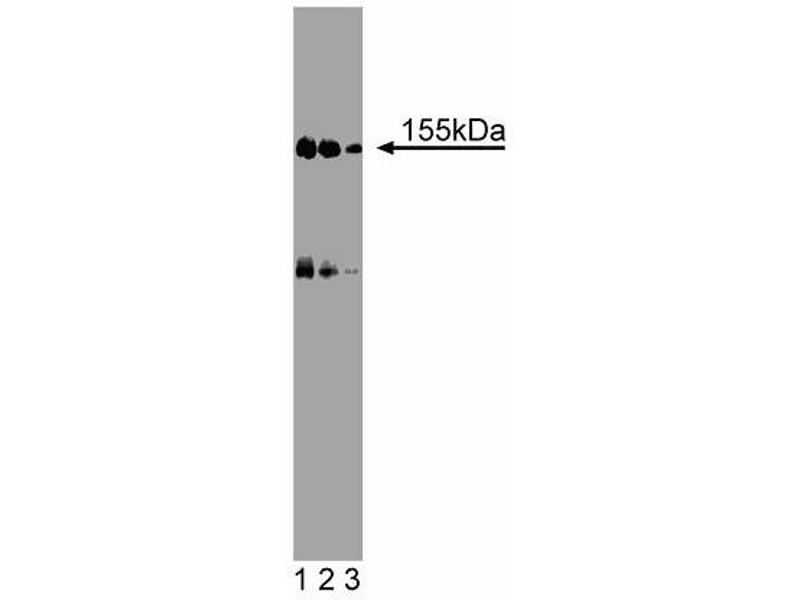 Western Blotting (WB) image for anti-Nitric Oxide Synthase 1, Neuronal (NOS1) (AA 144-262) antibody (ABIN968681)