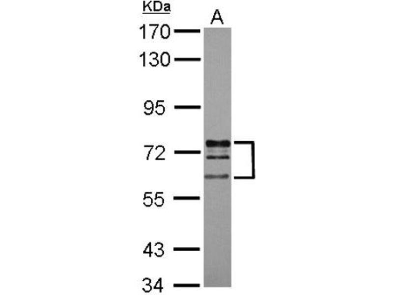 Western Blotting (WB) image for anti-Lamin A/C (LMNA) (Center) antibody (ABIN4330010)