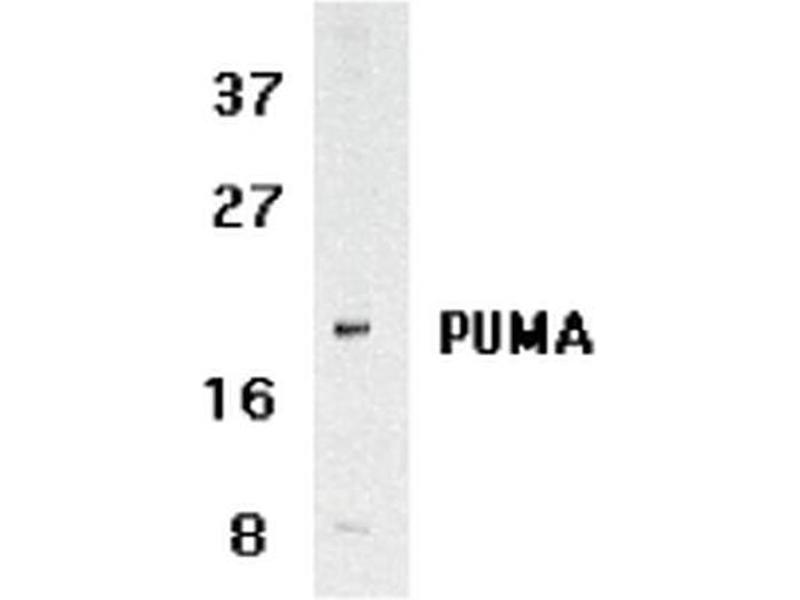 Western Blotting (WB) image for anti-BCL2 Binding Component 3 (BBC3) (N-Term) antibody (Atto 594) (ABIN5024206)