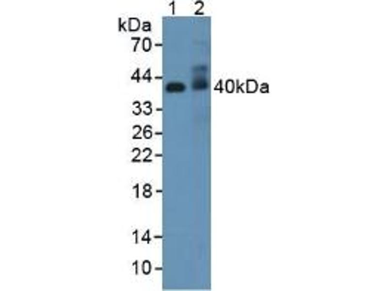 Western Blotting (WB) image for anti-Adiponectin Receptor 2 (ADIPOR2) (AA 1-147) antibody (ABIN1866553)