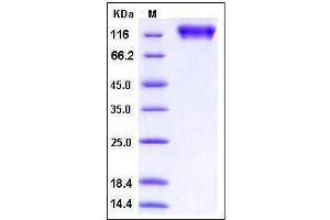 Image no. 1 for C-Mer Proto-Oncogene Tyrosine Kinase (MERTK) (AA 1-499), (Extracellular Domain) protein (Fc Tag,His tag) (ABIN2002533)