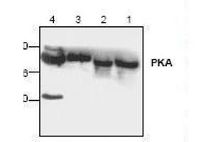 Image no. 1 for anti-Protein Kinase A (PKA) antibody (ABIN393099)