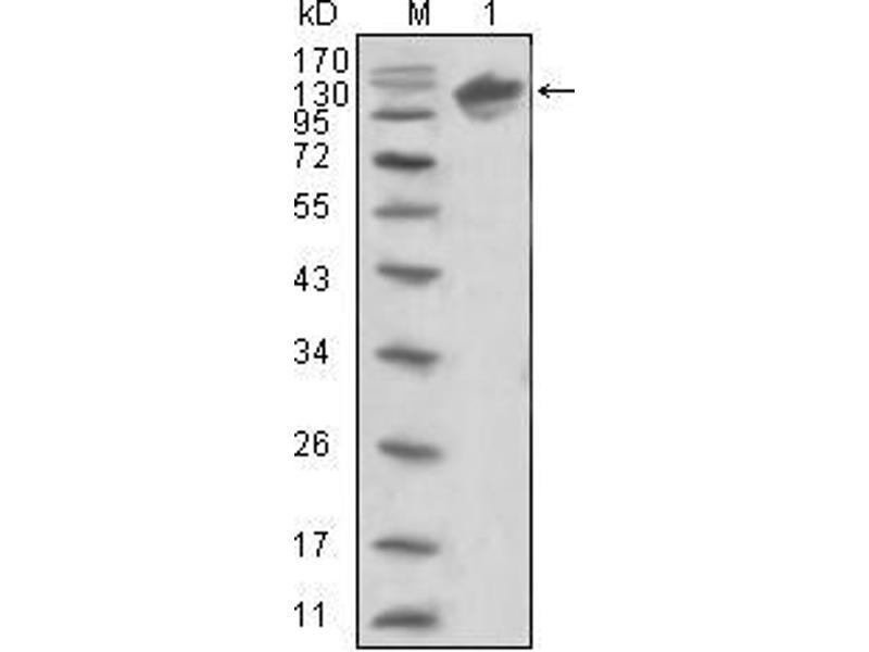 Western Blotting (WB) image for anti-V-Erb-B2 Erythroblastic Leukemia Viral Oncogene Homolog 3 (Avian) (ERBB3) (AA 22-369) antibody (ABIN969114)