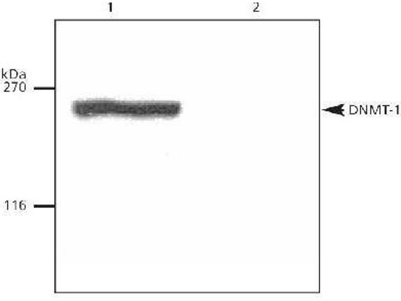 Western Blotting (WB) image for anti-DNA (Cytosine-5)-Methyltransferase 1 (DNMT1) (N-Term) antibody (ABIN151732)
