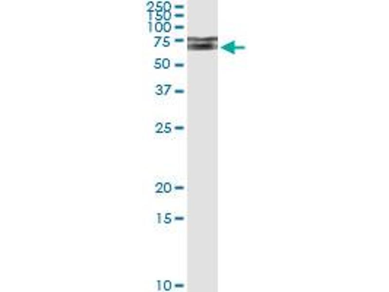 Immunoprecipitation (IP) image for anti-IRAK1 antibody (Interleukin-1 Receptor-Associated Kinase 1) (AA 530-693) (ABIN561510)