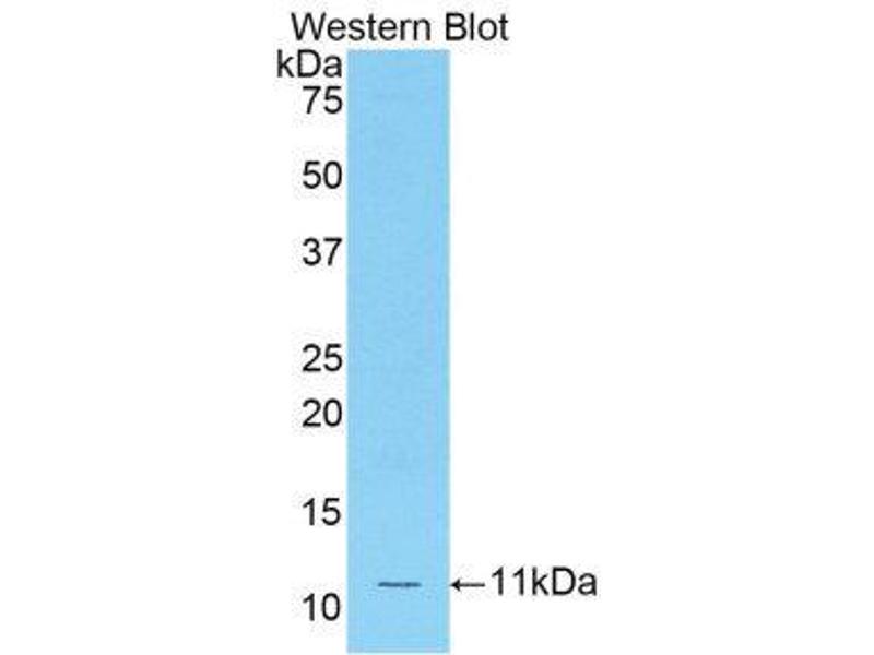 Western Blotting (WB) image for anti-Chemokine (C-C Motif) Ligand 12 (Ccl12) (AA 28-104) antibody (ABIN1859790)