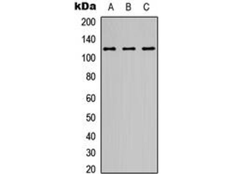 Western Blotting (WB) image for anti-Glutamate Receptor, Ionotropic, N-Methyl D-Aspartate 1 (GRIN1) (C-Term) antibody (ABIN2705058)
