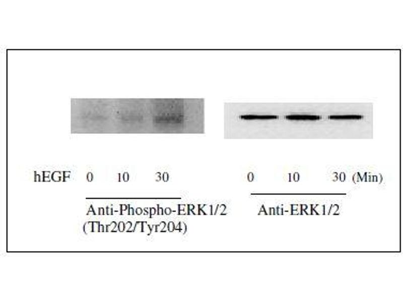 Western Blotting (WB) image for Mitogen-Activated Protein Kinase 1/3 (MAPK1/3) ELISA Kit (ABIN1981830)