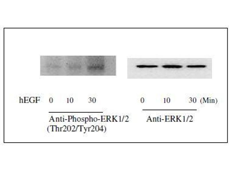 Western Blotting (WB) image for Mitogen-Activated Protein Kinase 1/3 (MAPK1/3) ELISA Kit (ABIN1981830)